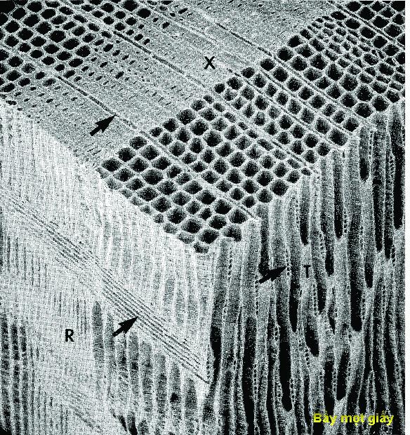 Hình 7 Ba mặt cắt của tế bào gỗ mềm, X-mặt cắt ngang, R-mặt cắt bán kinh, T-mặt cắt tiếp tuyến, cho thấy gỗ đầu mùa có tường mỏng và tâm rộng.