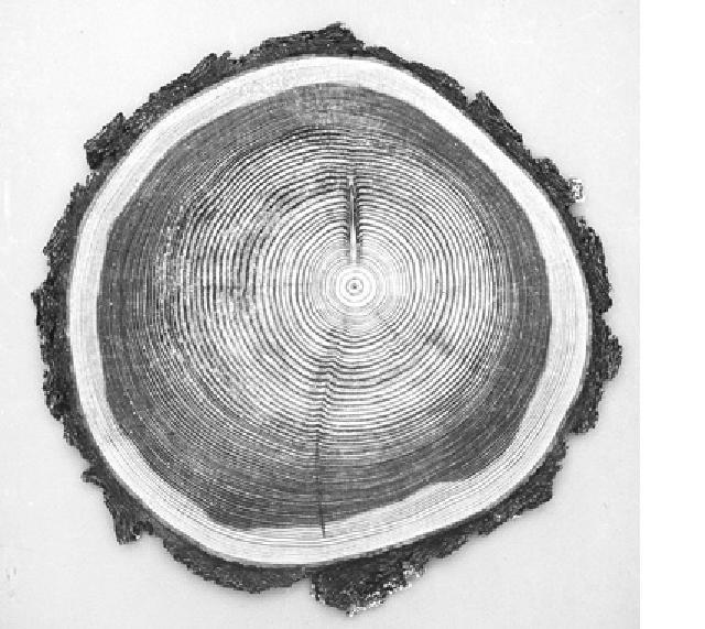 Hình 5 Mặt cắt ngang của cây gỗ 85 tuổi